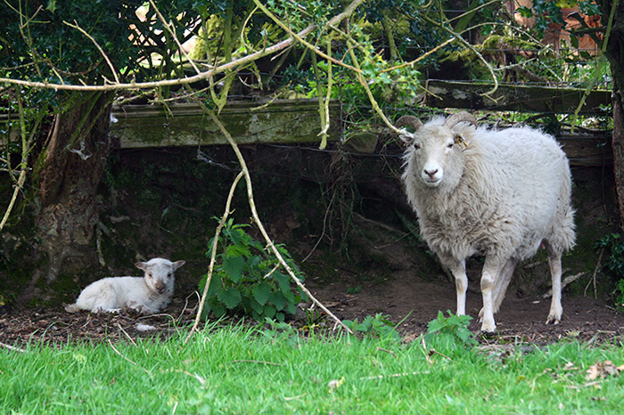 First ever Boreray lamb is born at Marlfield Farm