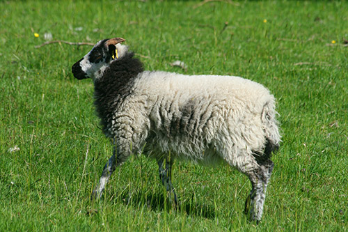 Marlfield Borerays create new flock in Ayrshire